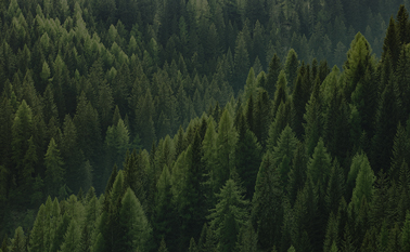A forest of evergreens